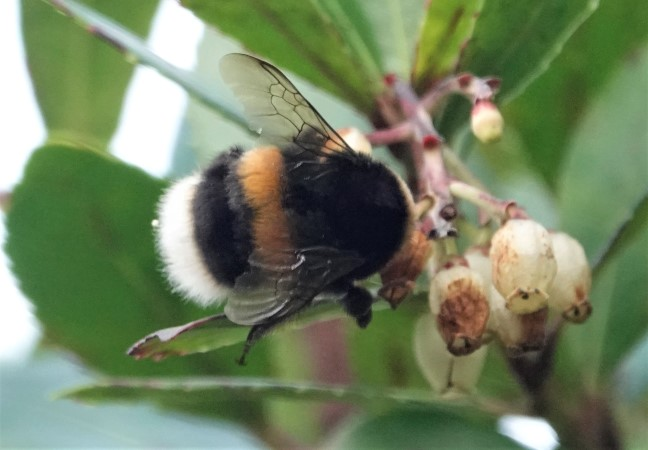 Bombus gr. terrestris spp.  - Thierry Tissot-Dupont