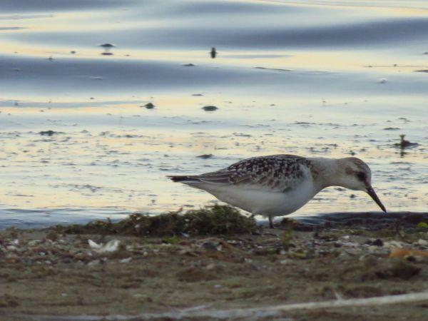 Bécasseau sanderling  - Stephane Carr