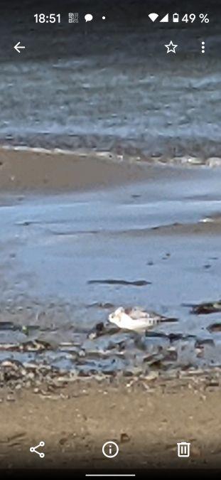 Bécasseau sanderling  - Flavie Velland