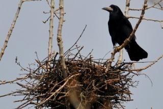 Corbeau freux  - Pierre Cousin