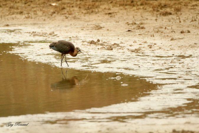 Ibis falcinelle  - Guy Renaud