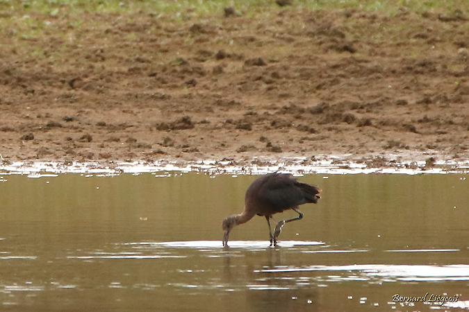 Ibis falcinelle  - Bernard Liégeois