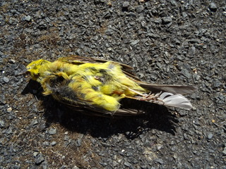 Bruant jaune  - Pierre Cousin
