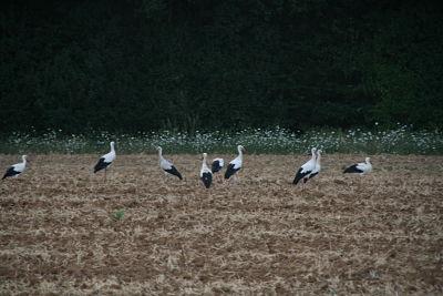Cigogne blanche  - Anonyme