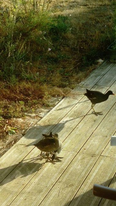 Gallinule poule-d'eau  - Cathy Monnier