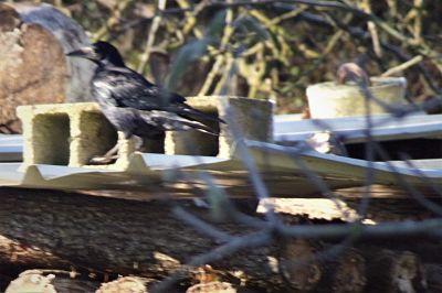 Corbeau freux  - Cathy Monnier