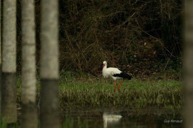 Cigogne blanche  - Guy Renaud