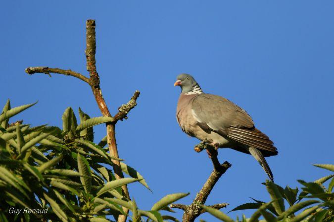 Pigeon ramier  - Guy Renaud