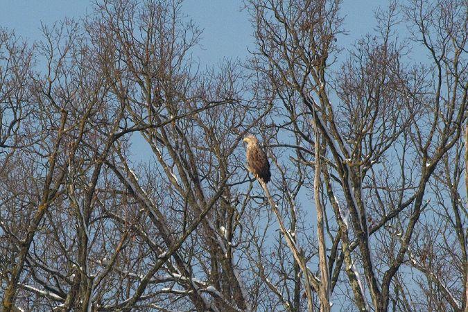 White-tailed Eagle  - Darko Podravec