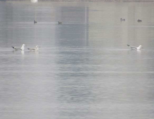 Yellow-legged / Caspian Gull  - Hrvoje Pleše