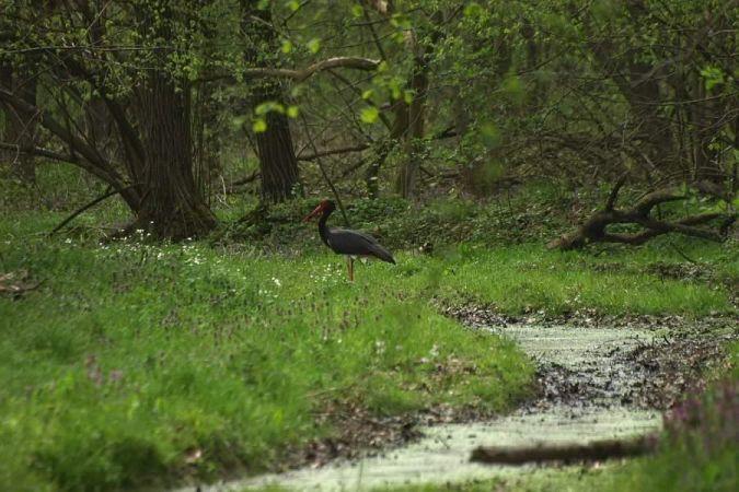 Black Stork  - Darko Podravec