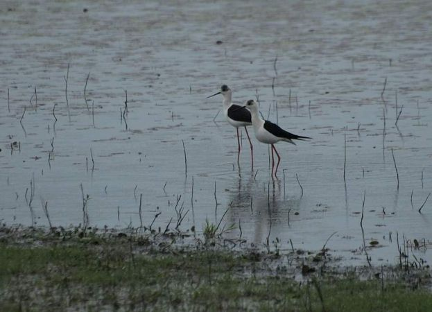 Black-winged Stilt  - Darko Podravec
