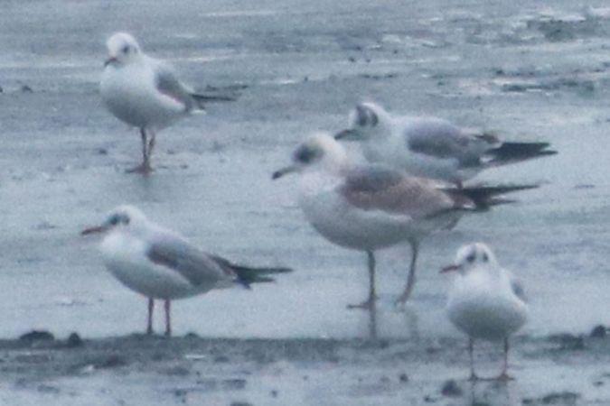 Common Gull  - Darko Podravec