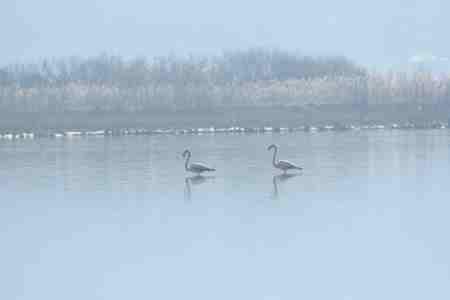 Greater Flamingo  - Emil Sušanj