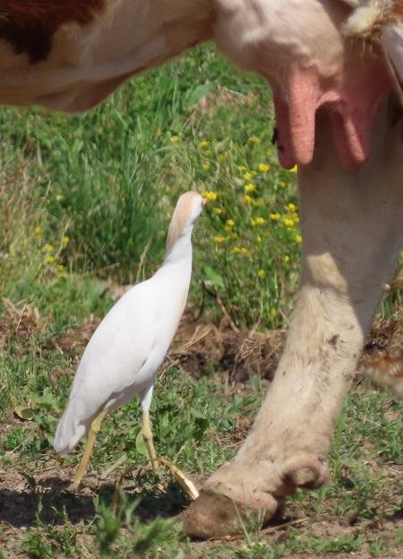 Western Cattle Egret  - Vanja Puškarić