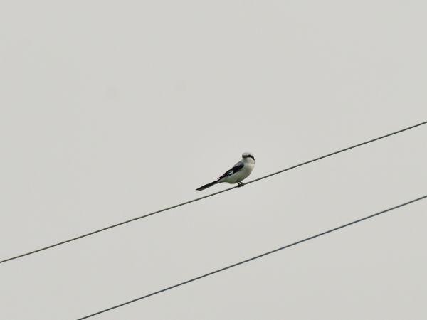 Great Grey Shrike  - Emil Sušanj
