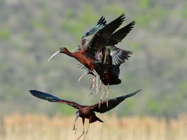blistavi ibis  - Emil Sušanj