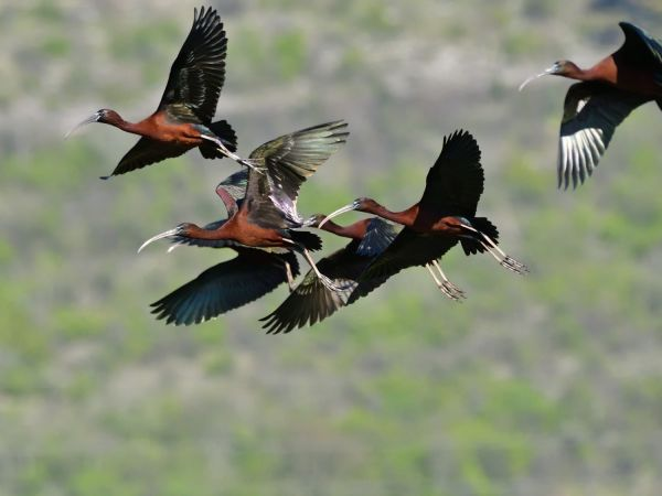 Ibis falcinelle  - Emil Sušanj
