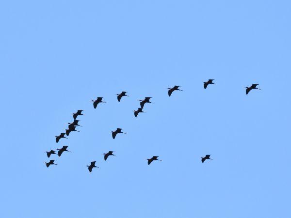 Glossy Ibis  - Emil Sušanj