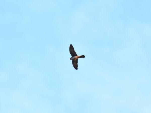 Red-footed Falcon  - Emil Sušanj