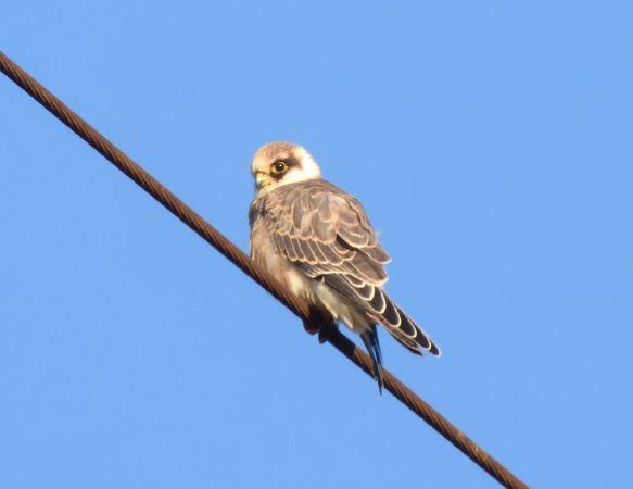 Red-footed Falcon  - Tomislav Mandir