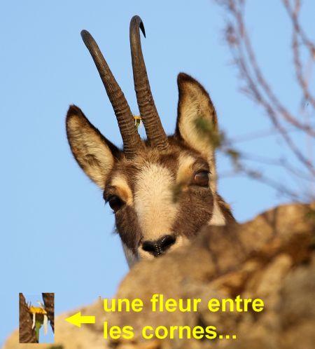 Chamois  - Pierre Crouzier