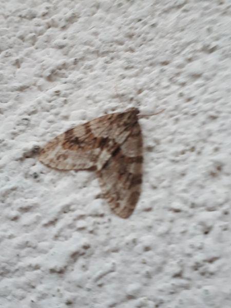 Trichopteryx polycommata  - Alain Bernard