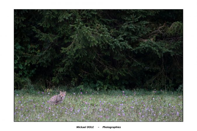Chat forestier  - Mickaël Dole