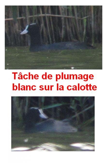Foulque macroule  - Pierre Crouzier