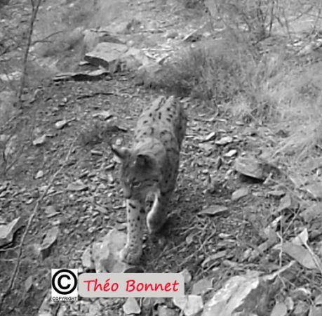 Lynx boréal  - Anonyme