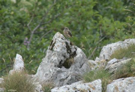 Monticole de roche  - Gianni Enselme