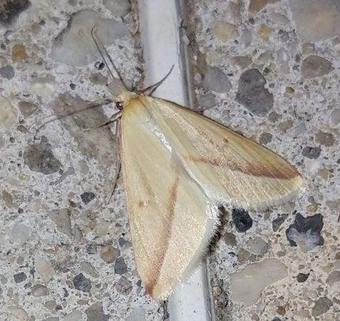Rhodometra sacraria  - Christophe Coussat