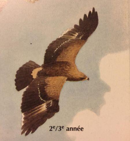 Aigle pomarin  - Lutz Lücker