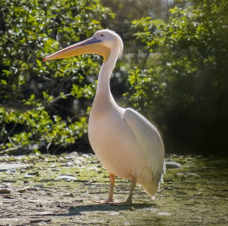 Pélican blanc  - Alexandre Crégu