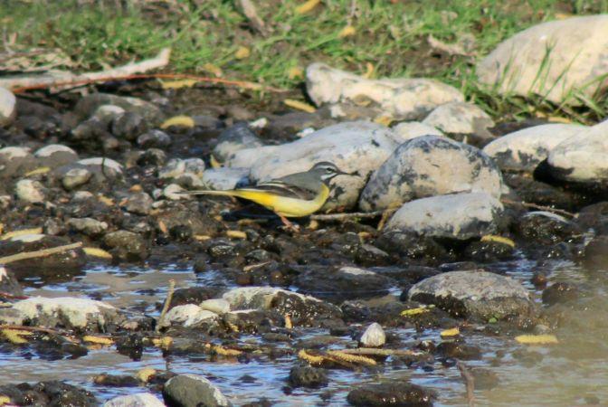 Bergeronnette des ruisseaux  - David Romand