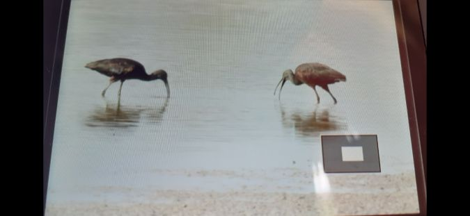 Ibis falcinelle  - Mathis Ducrotoy
