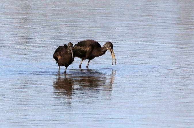 Ibis falcinelle  - Michel Kerdraon