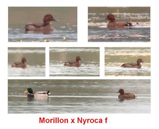 Hybride Fuligule morillon x nyroca  - Pierre Crouzier