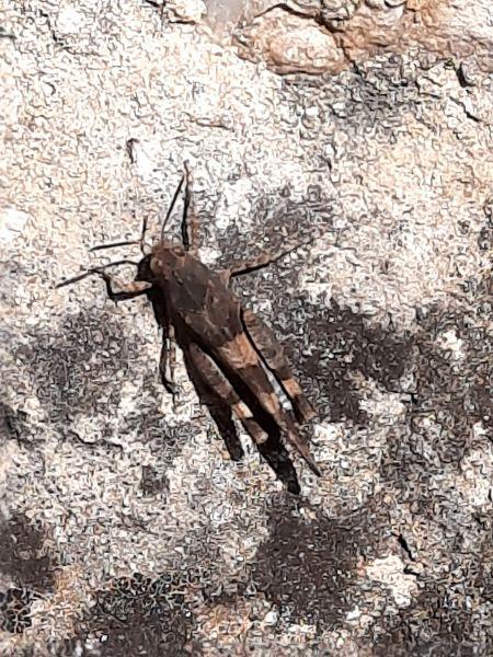 Oedipodinae indéterminé  - Alain Bernard