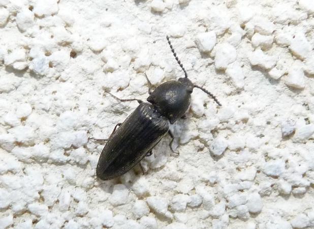 Cidnopus pilosus  - Rémy Gentner