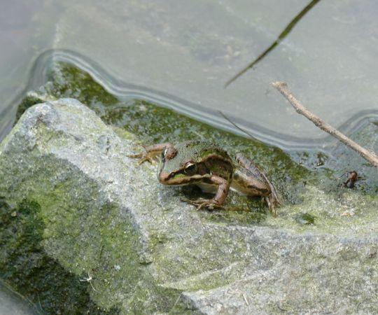 Grenouille verte indéterminée (Pelophylax sp.)  - Denis Dujardin