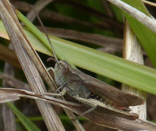 Criquet vert-échine (C. d. dorsatus)  - Alain Dujardin