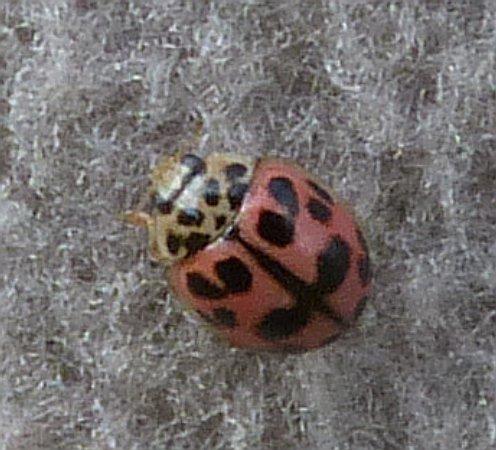 Coleoptera sp.  - Alain Dujardin