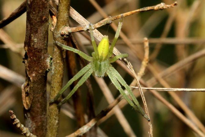 Micrommata virescens  - Michel et Paule Ehrhardt