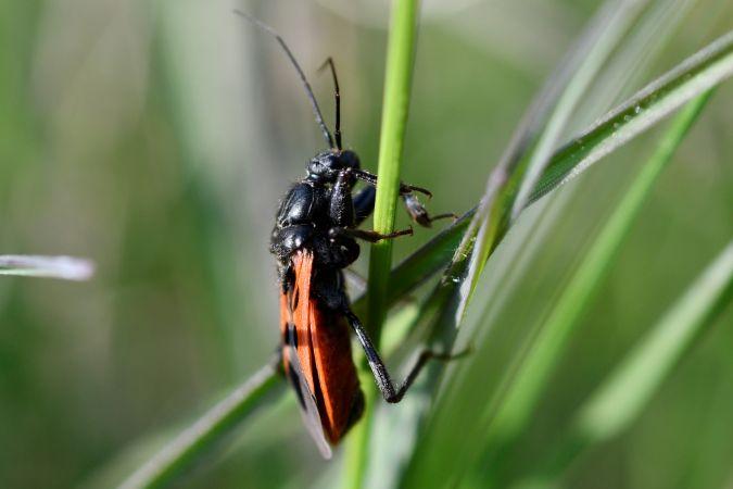 Peirates hybridus  - Francis Vonau
