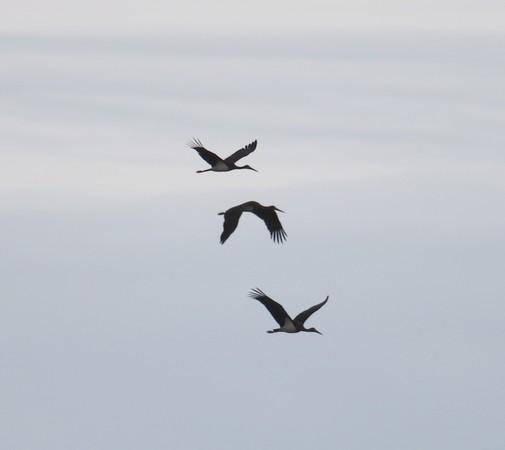 Cigogne noire  - Jerome Curie