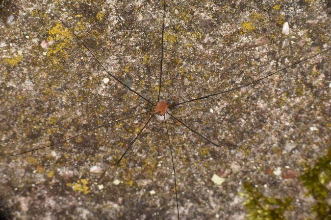 Leiobunum rotundum  - Philippe Hey