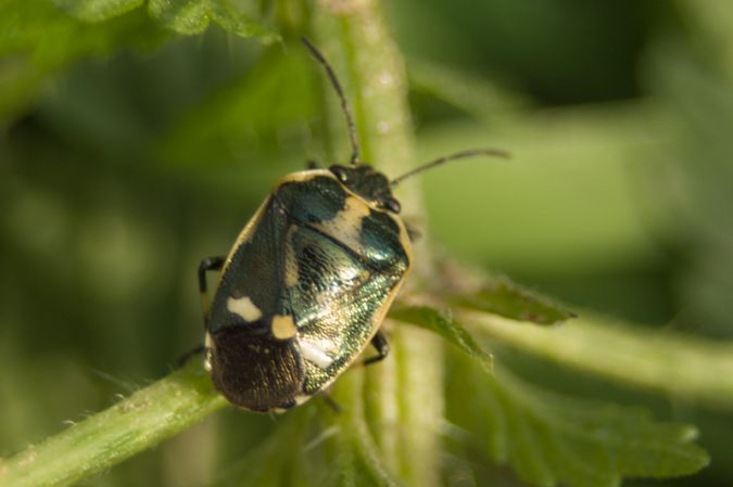 Eurydema (Eurydema) oleracea  - Armelle Chapman