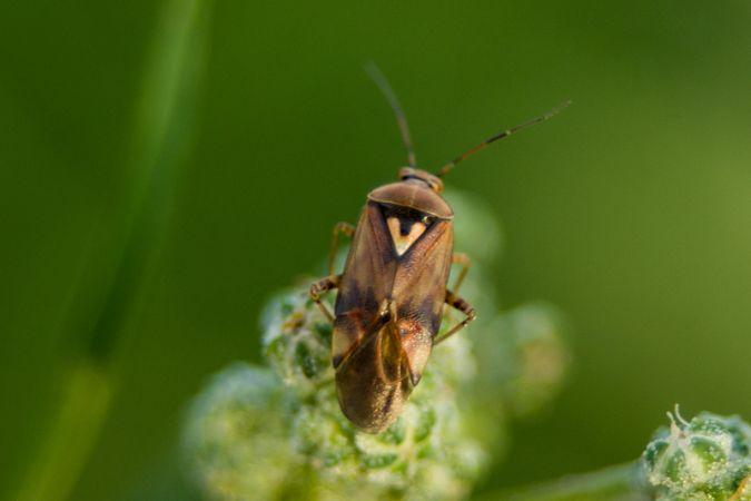 Miridae sp.  - Armelle Chapman