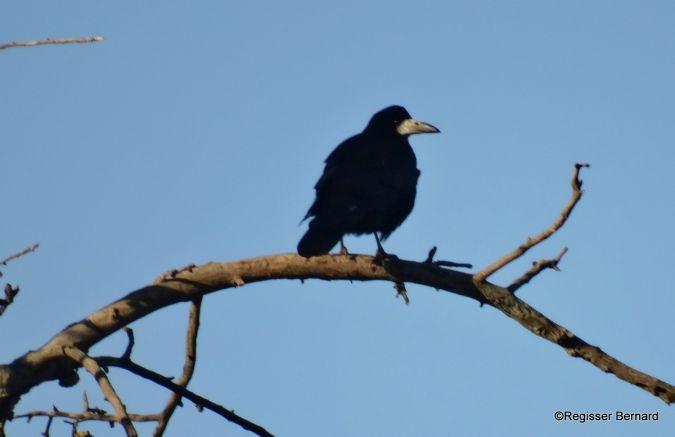 Corbeau freux  - Bernard Regisser